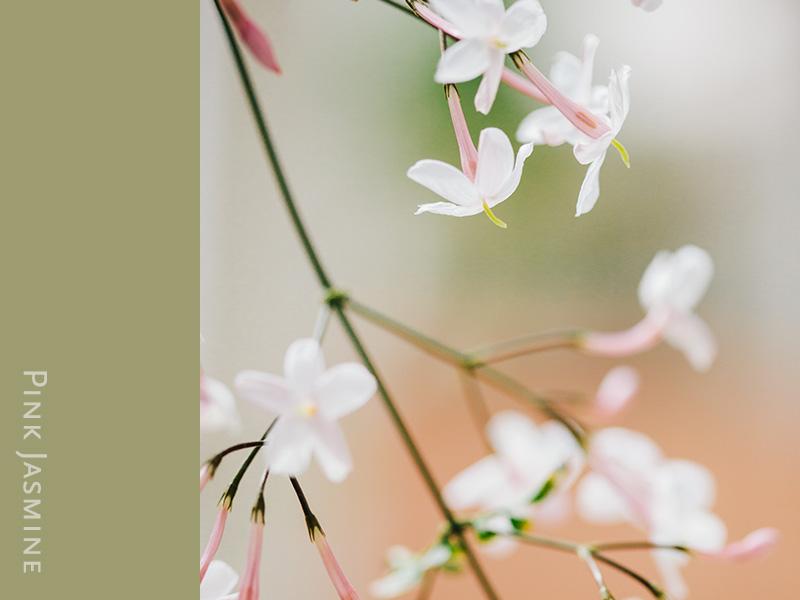 pink-jasmine