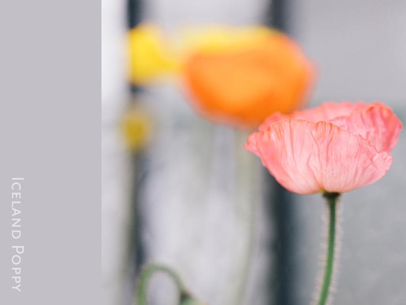 iceland-poppy