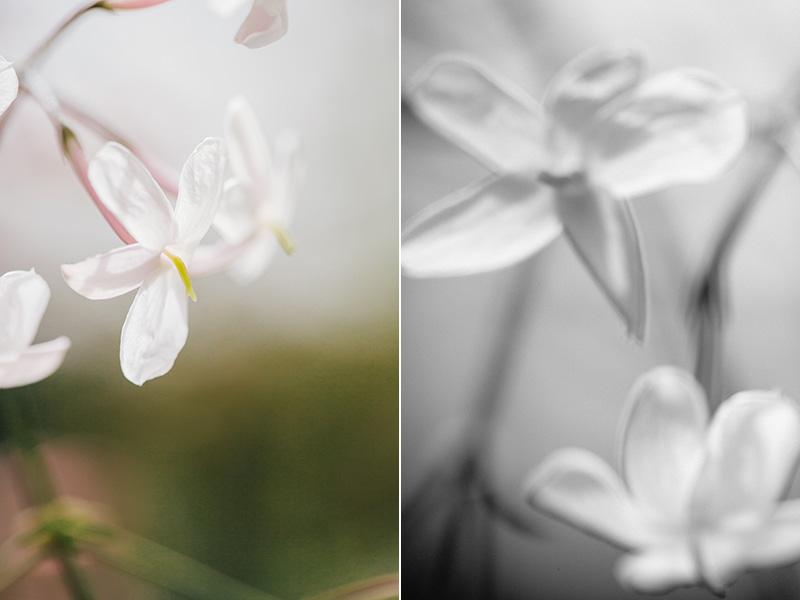pink-jasmine 2