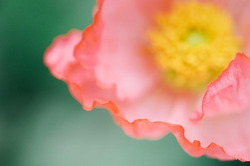 iceland-poppy 3