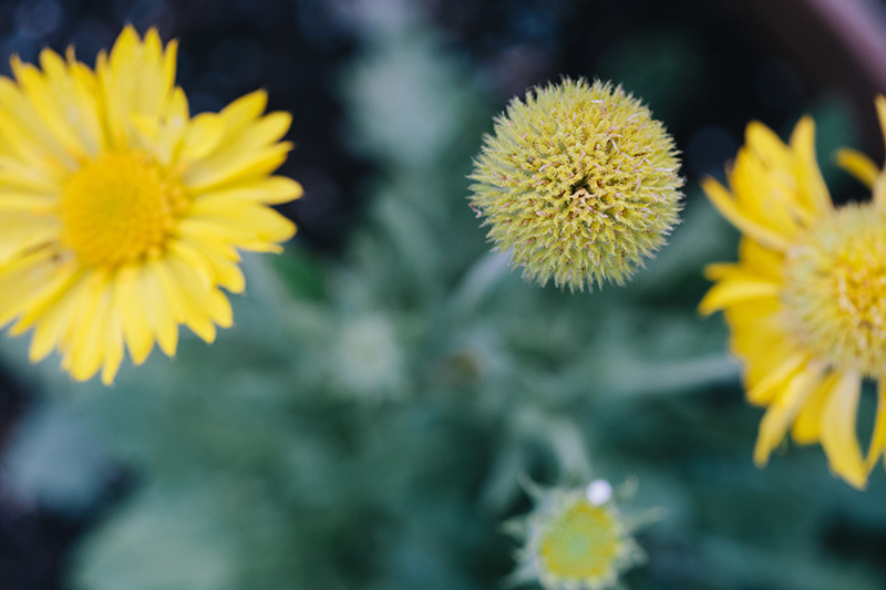 blanket-flower 2