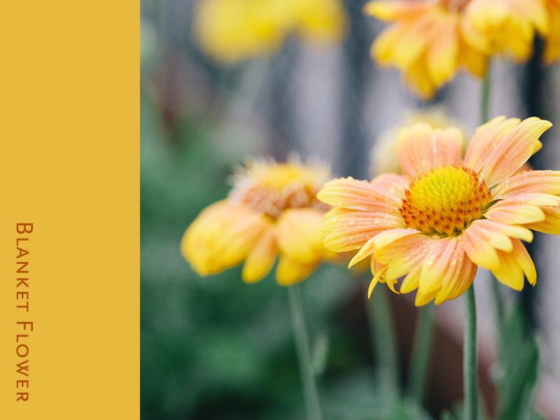 blanket-flower 1