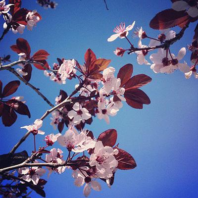 cherry blossom -ish 4