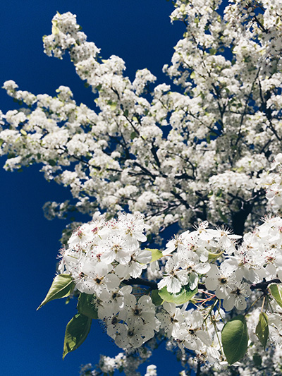 cherry blossom -ish 2