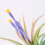 [Blog] Airplant (Tillandsia) Flower (2016.4.27)